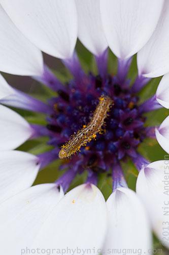 white-purple flower caterpillar