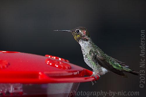 hummingbird - skinny