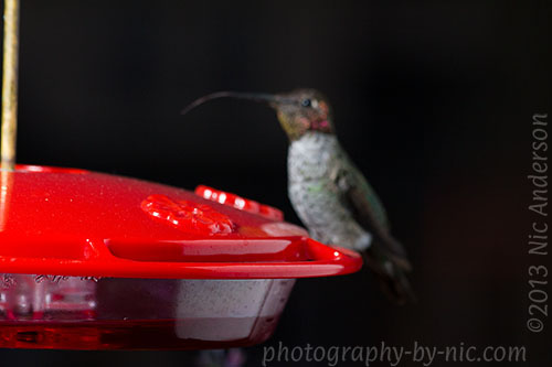 hummingbird - tongue