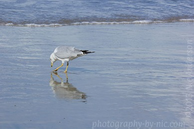 seagull - reflection