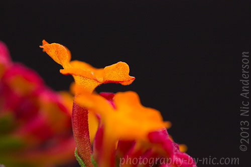 lantana - black background