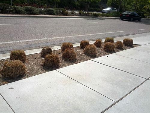 pampas grass buzzcut