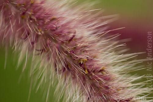 pampas grass frond