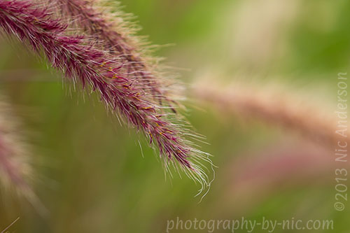 papas grass fronds
