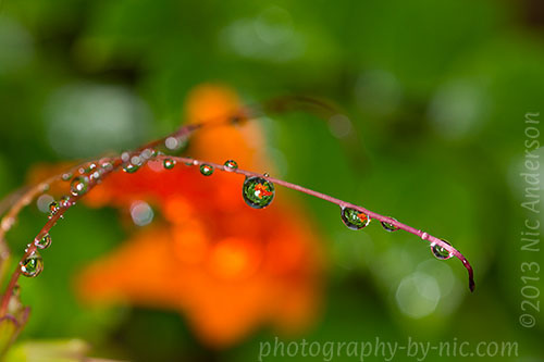 orange honeysuckle - waterdrops