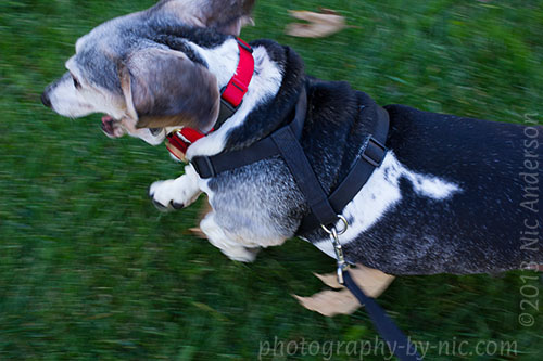 happy running basset hound