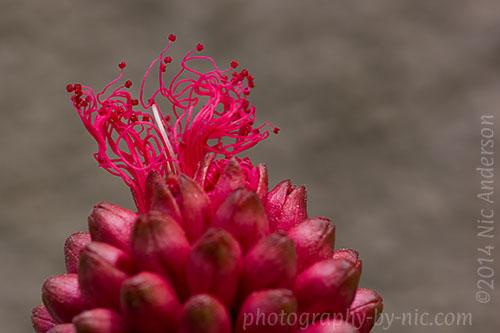 pink pompom