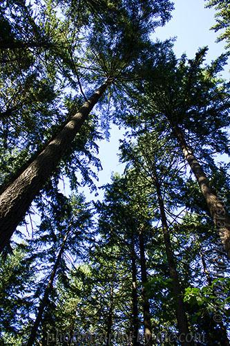 hoyt arboretum - tall trees