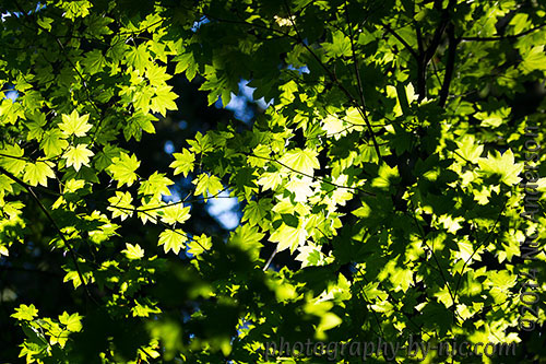 hoyt arboretum - leaves