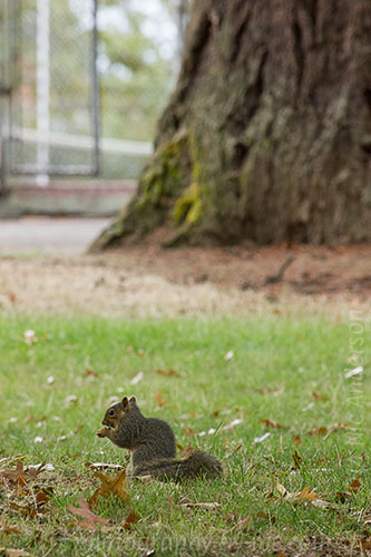 squirrel - on ground