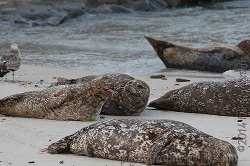 harbor seals - before
