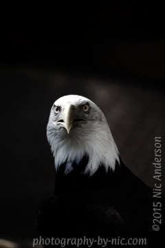 Gungy Eagle