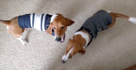 Duke & Penny in hand-me-down thundershirts