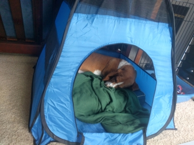 Penny after 3rd injection in tent